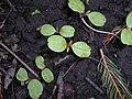Impatiens parviflora 2016-04-10 7151.jpg