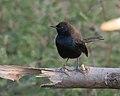 Indian Robin (Saxicoloides fulicata)- Male at Sindhrot near Vadodara, Gujrat Pix 228.jpg