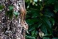 Indian palm squirrel in Sri Lanka 04.jpg