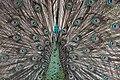 Indonesia Peacock Bird.jpg
