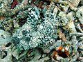 Inimicus sinensis1.jpg