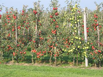 Cider apple - Apple trees in a modern high-density orchard.