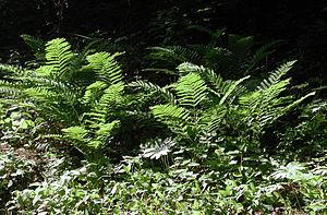 Osmunda claytoniana - Interrupted fern in evening light