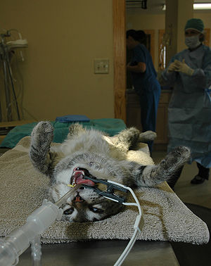 Veterinary anesthesia - An anesthetized cat