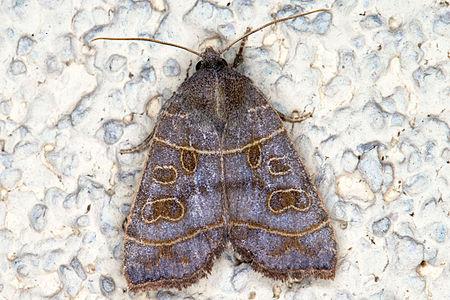 Ipimorpha subtusa, Lodz(Poland)01(js).jpg