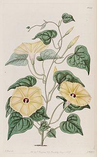 Ipomoea ochracea (Convolvulus ochraceus) Bot. Reg., 13. 1060. 1827.