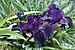 Iris × germanica 'Before the Storm' Flowers.jpg