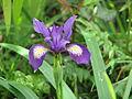 Iris douglasii? (14156887376).jpg