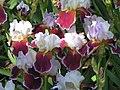 Iris flower0066.jpg