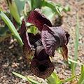 Iris iberica ssp. lycotis-IMG 2177.jpg