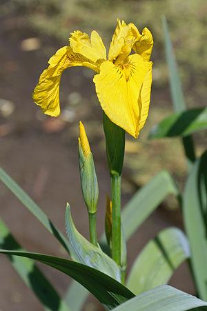 Iris pseudacorus - Yellow iris