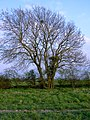 Is this Jeremiahs Tree^ - geograph.org.uk - 397647.jpg