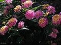 Israeli flowers.jpg