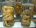 Istituto di anatomia patologica, museo, campioni 05 feti malformati.JPG