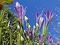 Ithuriels Spear, Triteleia laxa.jpg