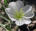 J20160623-0057—Oenothera deltoides ssp howelli—RPBG (35510652722).jpg