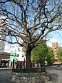 Jacaranda arbol historico.jpg