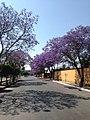 Jacarandas en Querétaro, México.jpg