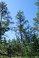 Jack Pines, Gotham Jack Pine Barrens, Wisconsin 1.jpg