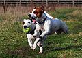 Jack Russell Terriers Eddi & Lola.JPG