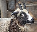 Jacob Sheep 065.jpg