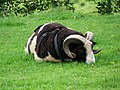 Jacob sheep ram, Yarlington - geograph.org.uk - 1012774.jpg