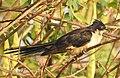 Jacobin cuckoo കൊമ്പൻ കുയിൽ (Clamator jacobinus).jpg