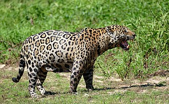 "South American jaguar - Image: Jaguar (Panthera onca) frustrated male in ""flehmen"" attitude ... No mating for now ^ Flickr berniedup"