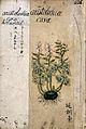 Japanese herbal, 17th century Wellcome L0030044.jpg