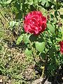 Jardim de Santa Bárbara (rosa vermelha 2).JPG