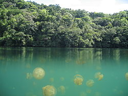 Jellyfish Lake Palau.jpg