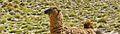 Jeune lama.JPG