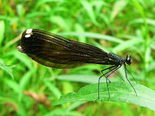 Jewelwing.jpg