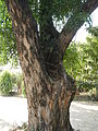Jf9408Pterocarpus indicus Lubaofvf 11.JPG