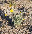 Joshua Tree National Park flowers - Baileya pleniradiata - 01.JPG