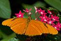 Julia-heliconian-butterfly2.jpg