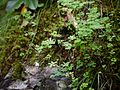 Juncus thomsonii (7845624436).jpg