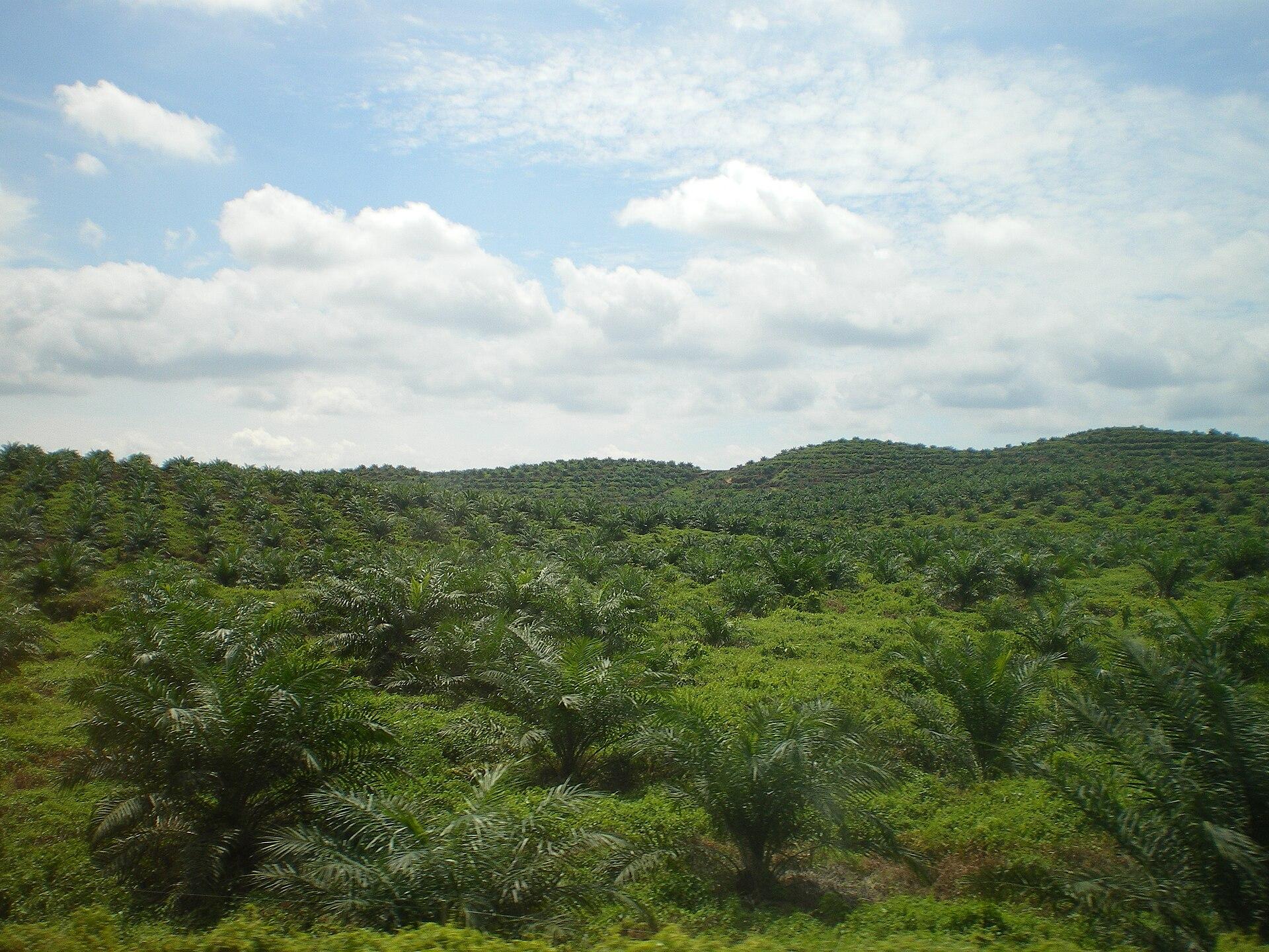 Junge Palmöl-Plantage in Ost-Malaysia