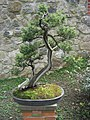 Juniperus rigida-Bonsai.jpg
