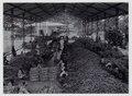 KITLV - 15707 - Kurkdjian, N.V. Photografisch Atelier - Soerabaja - Logging and sorting shed for bibit in a sugar factory in East Java - circa 1910.tif