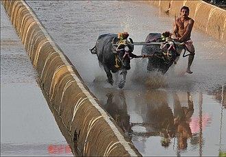 Kambala - A Kambala Race at Pilikula Nisargadhama.