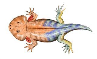 Karauridae Extinct family of amphibians