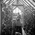 Kasvihuoneessa kypsyvät punaiset tomaatit. Aino Sibelius, 1940-1945, (D2005 167 6 106) Suomen valokuvataiteen museo.jpg