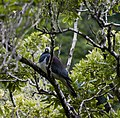 Kereru, AKA New Zealand Wood Pigeons are important for maintaining and spreading native bushes and forests. They are the largest seed eating bird remaining in New Zealand, so are the only bird that (34962366225).jpg