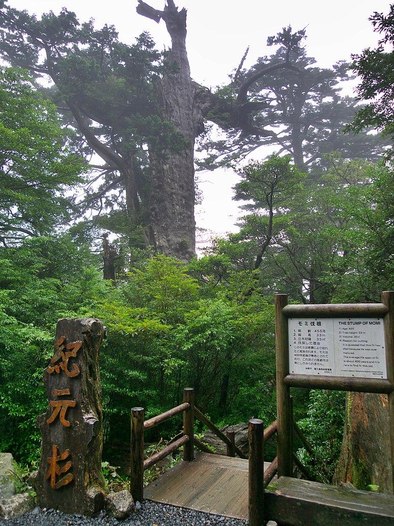 Kigen Sugi in Yakushima