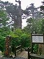 Kigen Sugi in Yakushima.jpg