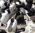 King Cormorant feeding its chick (5583134276).jpg