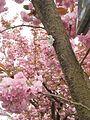 Kirschblüte Stresemannstrasse Südviertel Marburg mit Nummer 034 im Baumkataster 2017-04-13.jpg