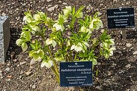 Klagenfurt Villacher Vorstadt Botanischer Garten Helleborus caucasicus 04042018 5796.jpg