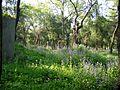 Kong lin flowers 2005 04 21.jpg